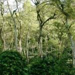 「雨林咖啡」雨林樹下的寶石